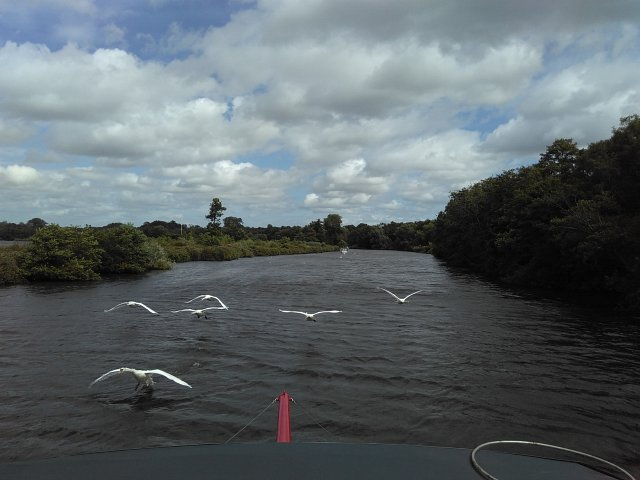 swans flying ahead of passenger trip boat