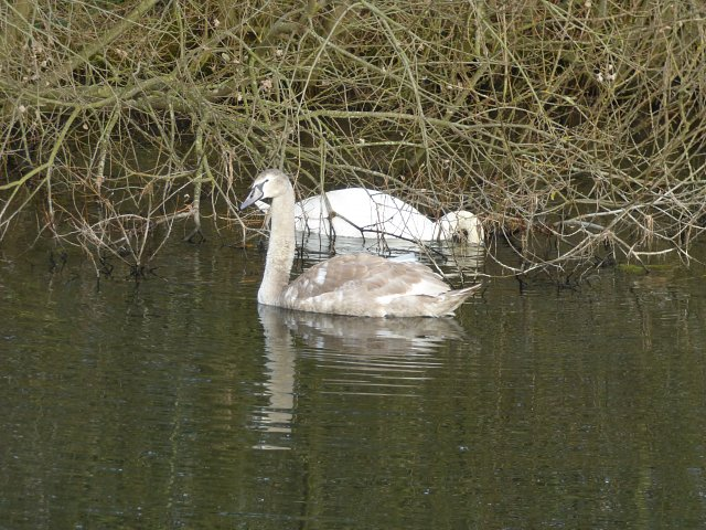 adult swan with almost fully fledged cygnet
