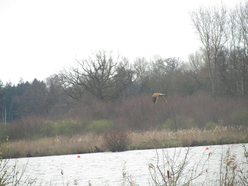 kestrel in flight over wroxham broad