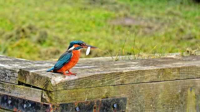 kingfisher standing on wooden platform with fish in mouth