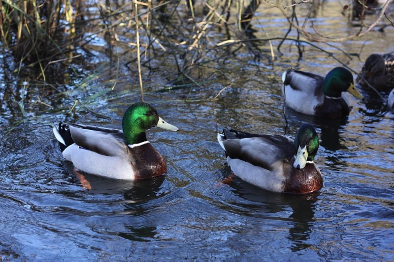 mallard ducks swimming on water