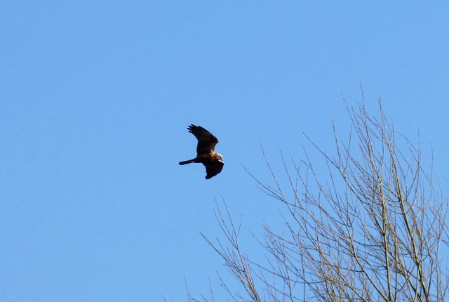 marsh harrier in flight from below