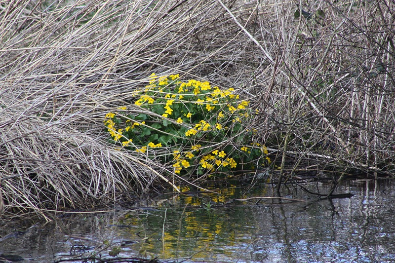 marsh marigold on the river bank surrounded by dry reeds