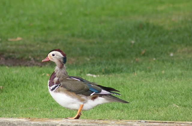 mandarin duck profile standing on river bank