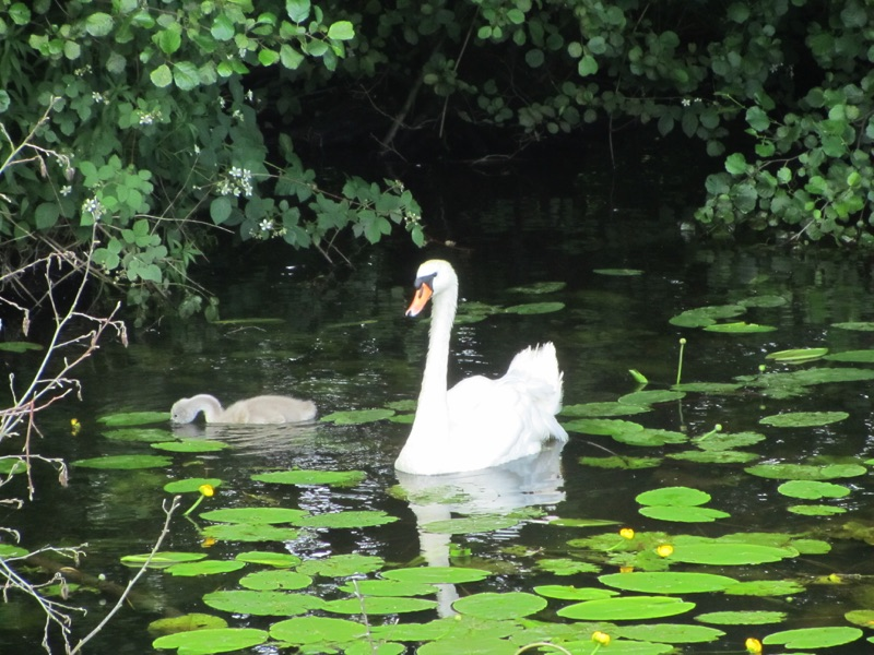 swan on water with cygnet surrounded by water lillies