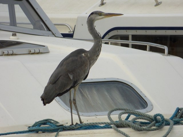 grey heron standing on top of broads holiday cruiser