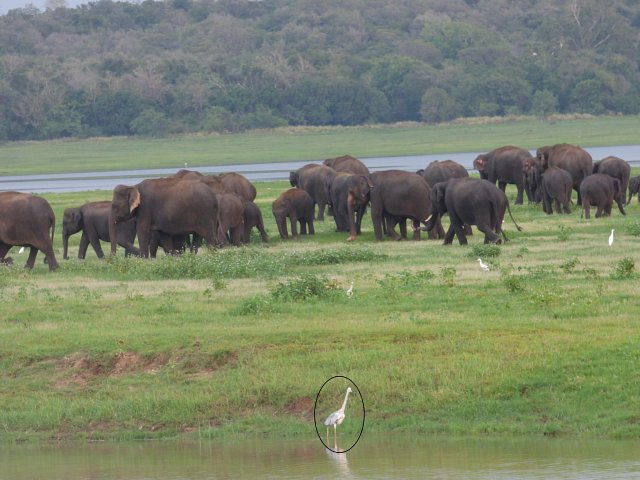 brown elephants on grass with grey heron in foreground