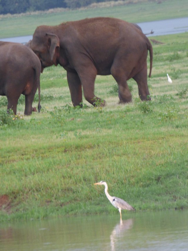 close up of grey heron standing in water with two brown elephants in background