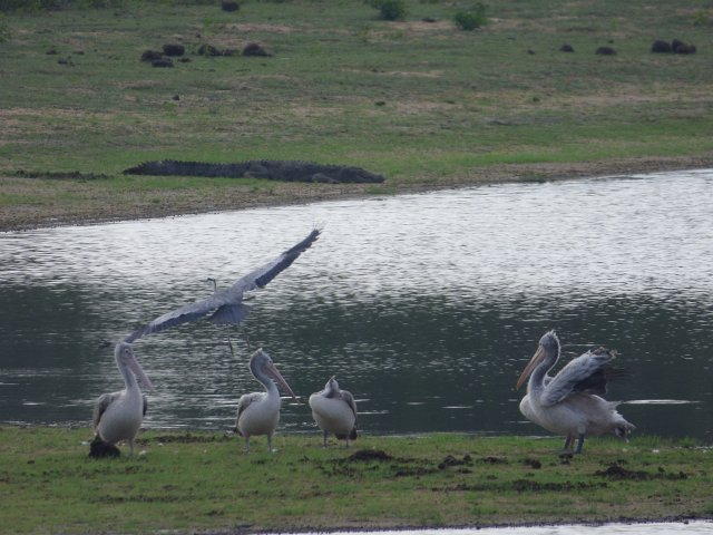 grey heron in flight over water with pelicans in foreground