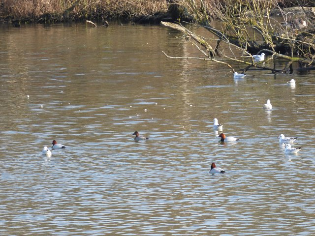 multiple pochard ducks on the water