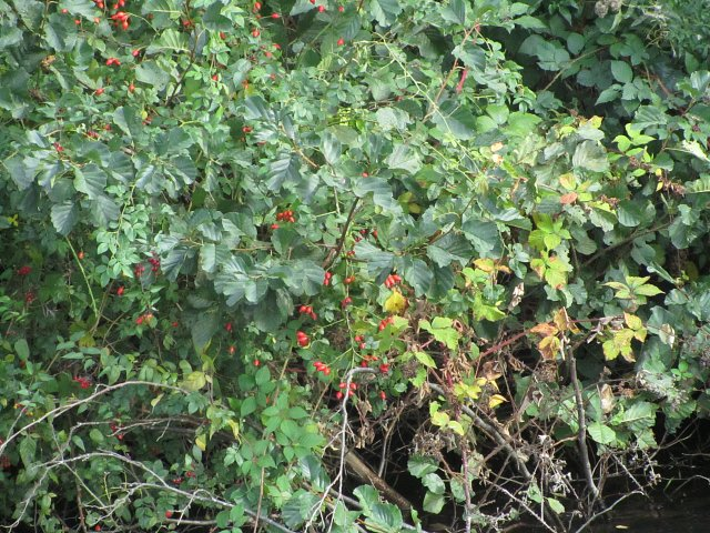 rosehips on river bank