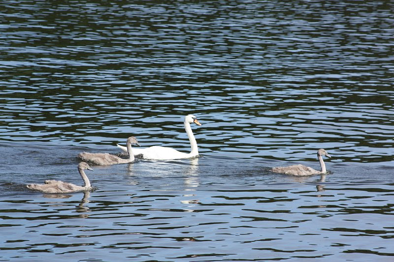 swan on the water with three cygnets