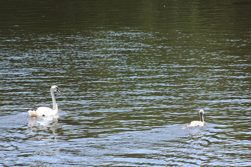 swan on the water with one cygnet