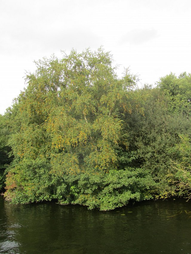 silver birch on river bank