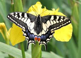 swallowtail butterfly with wings spread on yellow flower