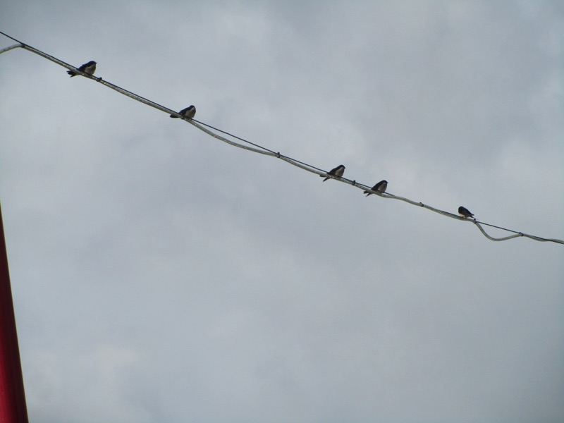close up of swallows on cabling of cordon rough