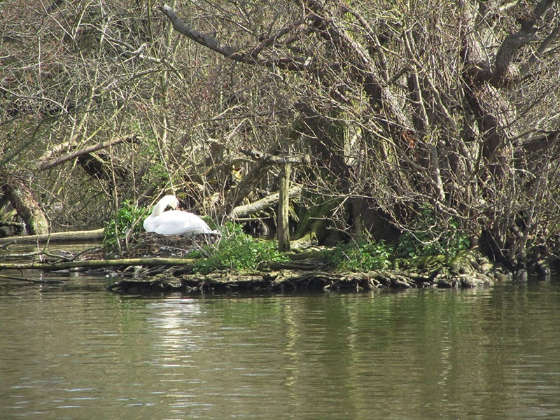 swan sitting on a nest on the riverbank