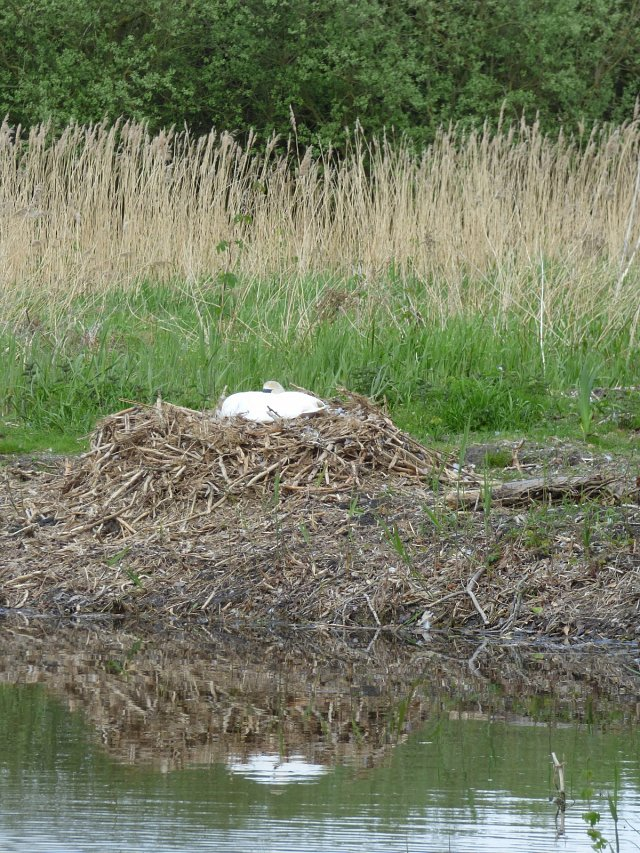 swan sitting on a nest of dry reeds