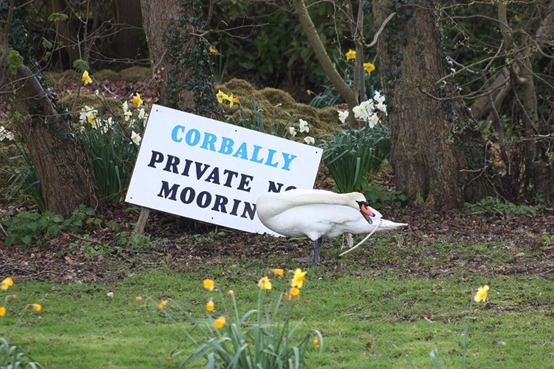 swan standing in front of a no mooring sign reaching for a branch with its mouth open