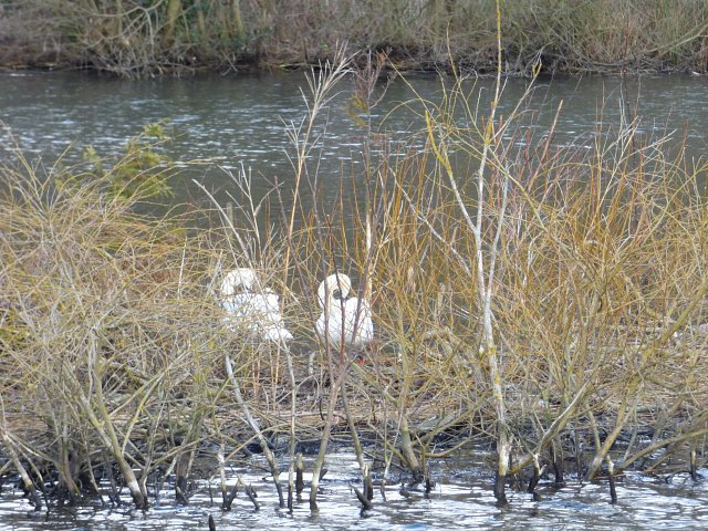 two swans nesting on river in cluster of reeds