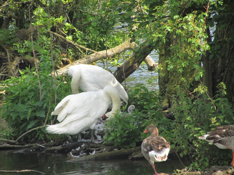 two swans grooming in nest with one cygnet in the nest and 2 greylag geese in foreground