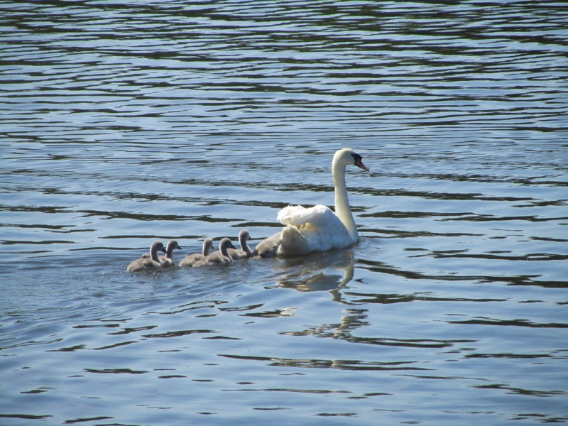 swan on the water with 5 cygnets swimming behind
