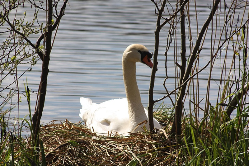 swan sitting on nest of dry reeds on riverbank