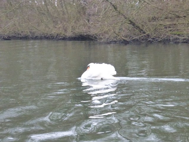 close up of swan on water next to river bank