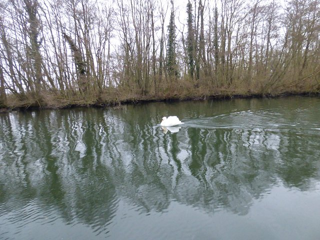 swan on water next to river bank