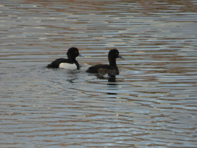 two tufted ducks on the water