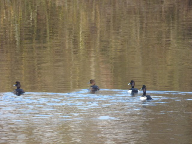 4 tufted ducks swimming towards bank