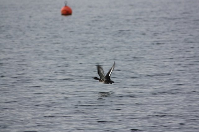 tufted duck flying over the surface of the water