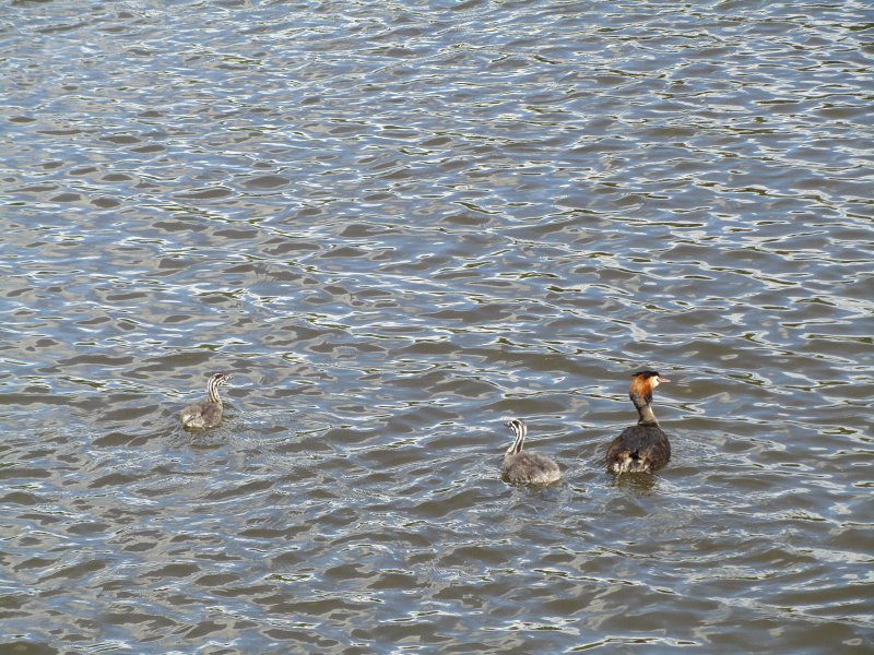 great crested grebe on water with two grebelets