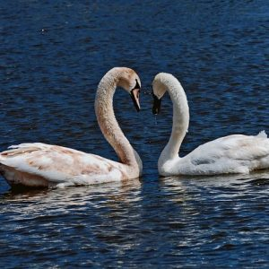 swans on norfolk broads