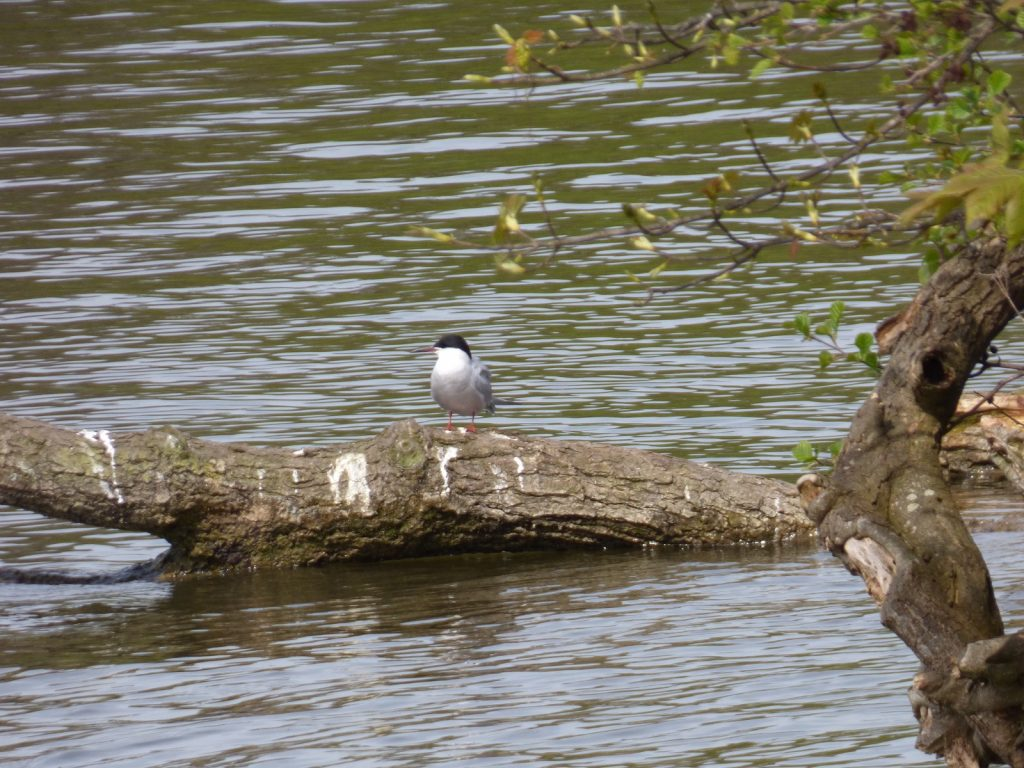 common tern standing on a branch partially submerged in water