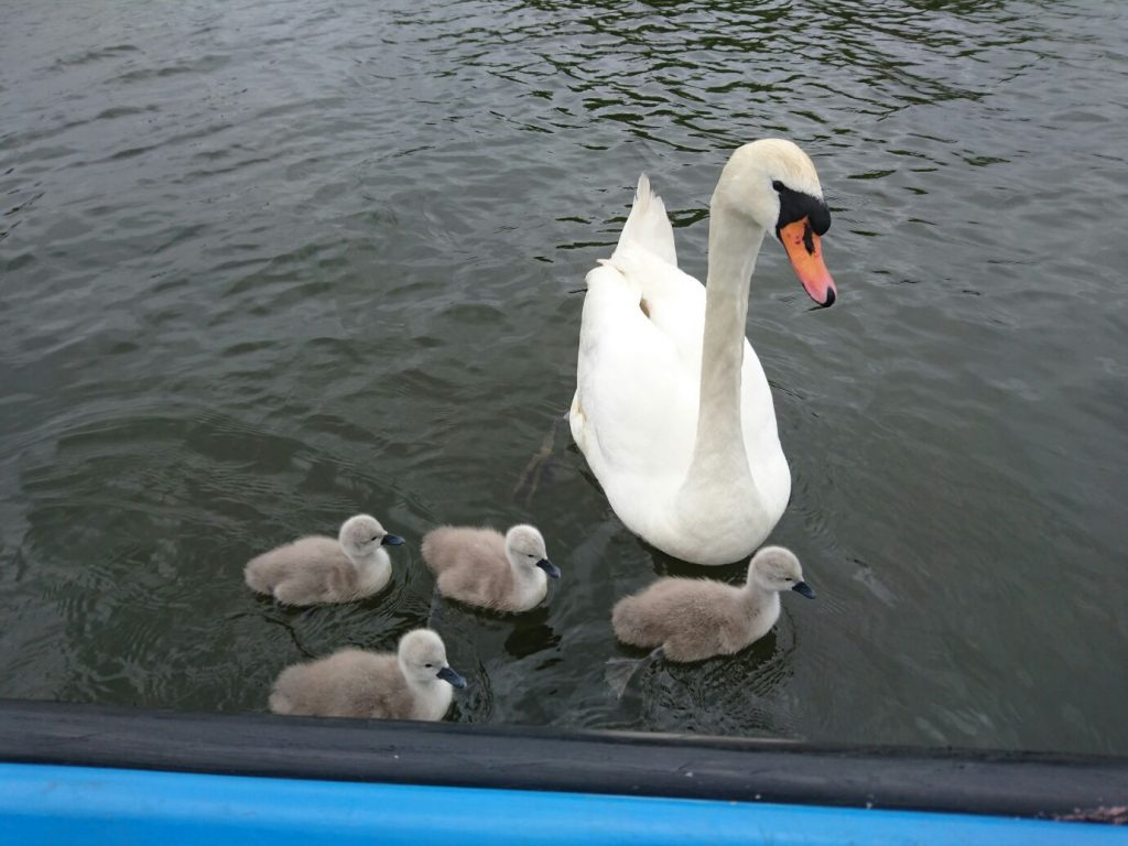 Adult swan with 4 cygnets on the water