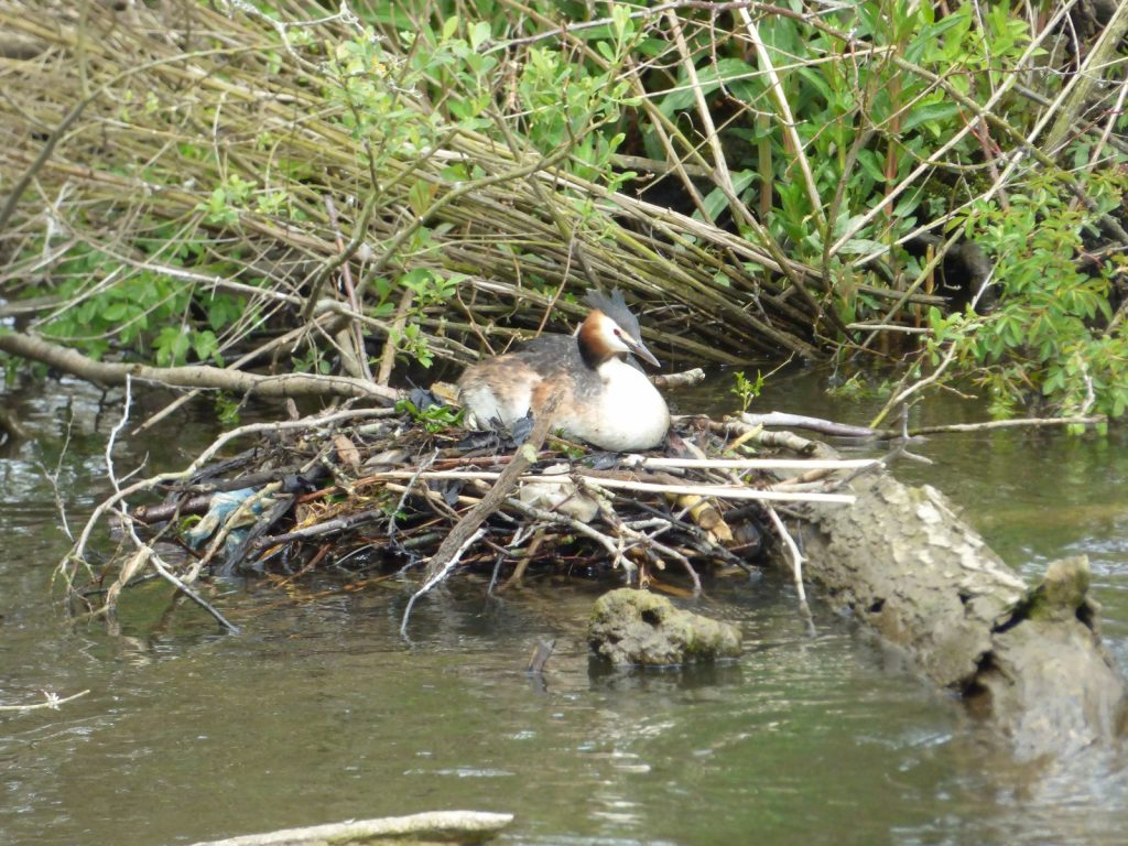 grebe sitting on a nest