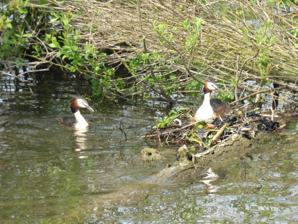 two grebes one sitting on a nest the other one is one the water with twigs in its mouth swimming towards the nest