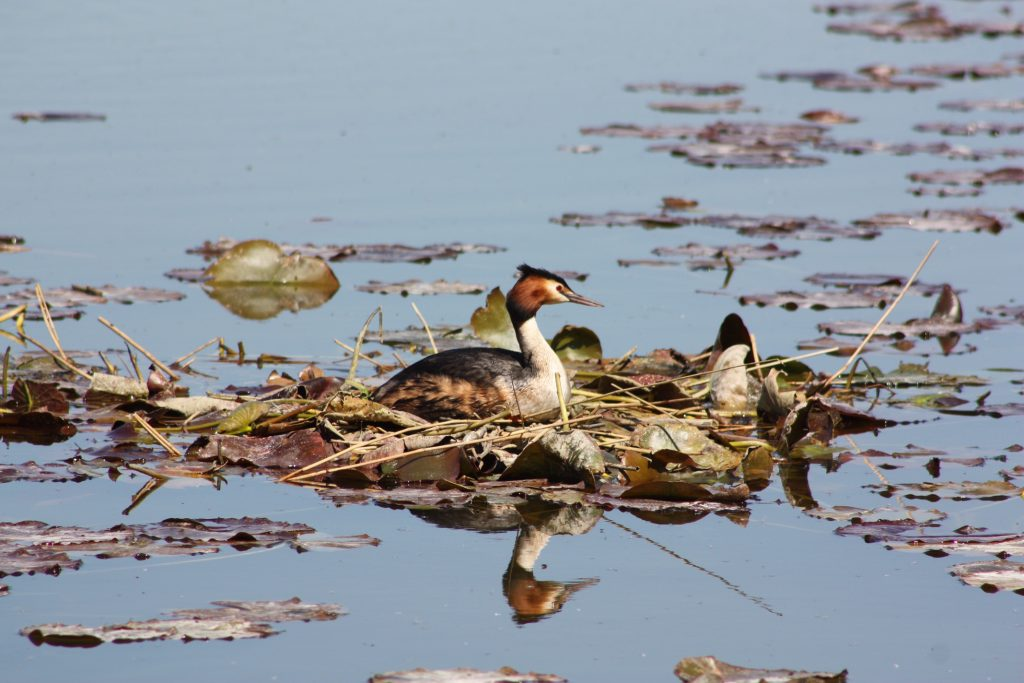 grebe sitting on a floating nest