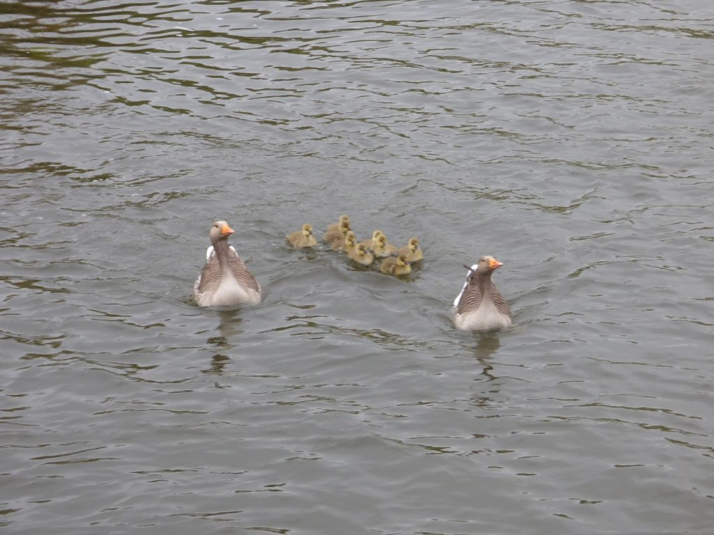 two greylag geese on the water flanking 9 goslings