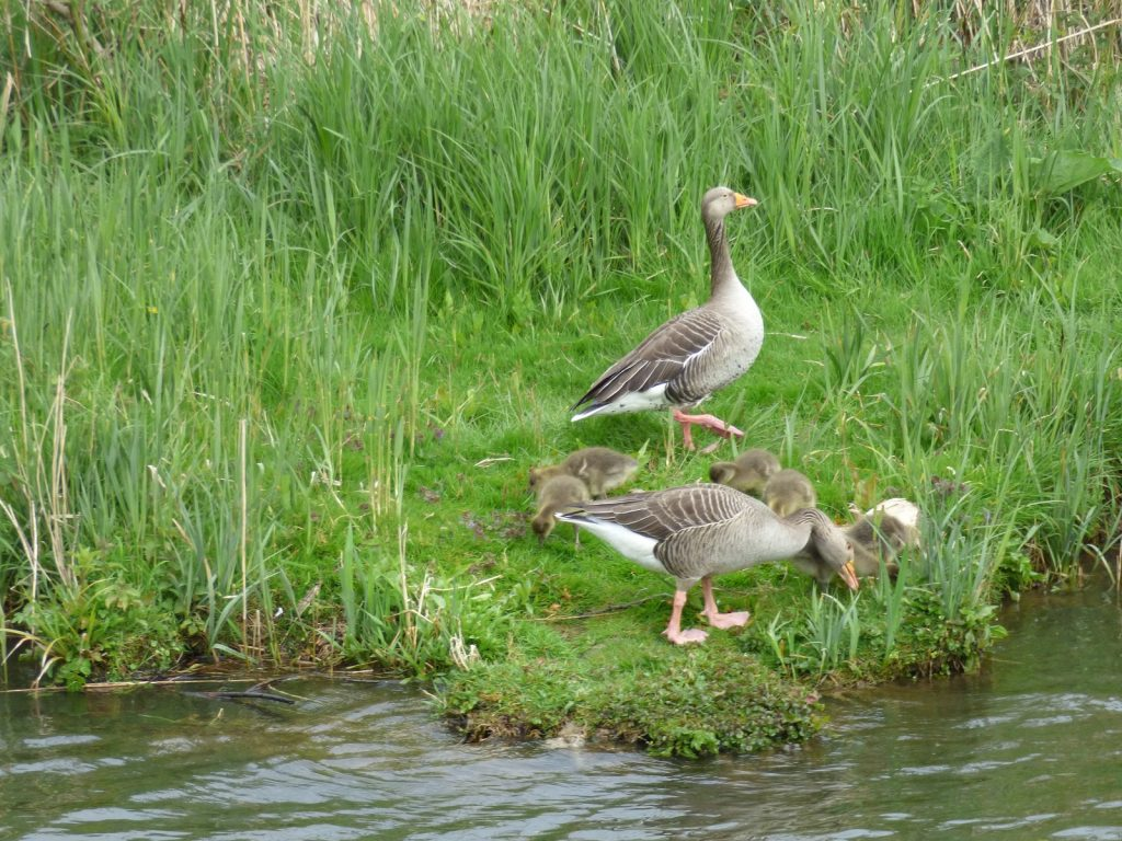 two greylag geese standing on river bank with 5 goslings