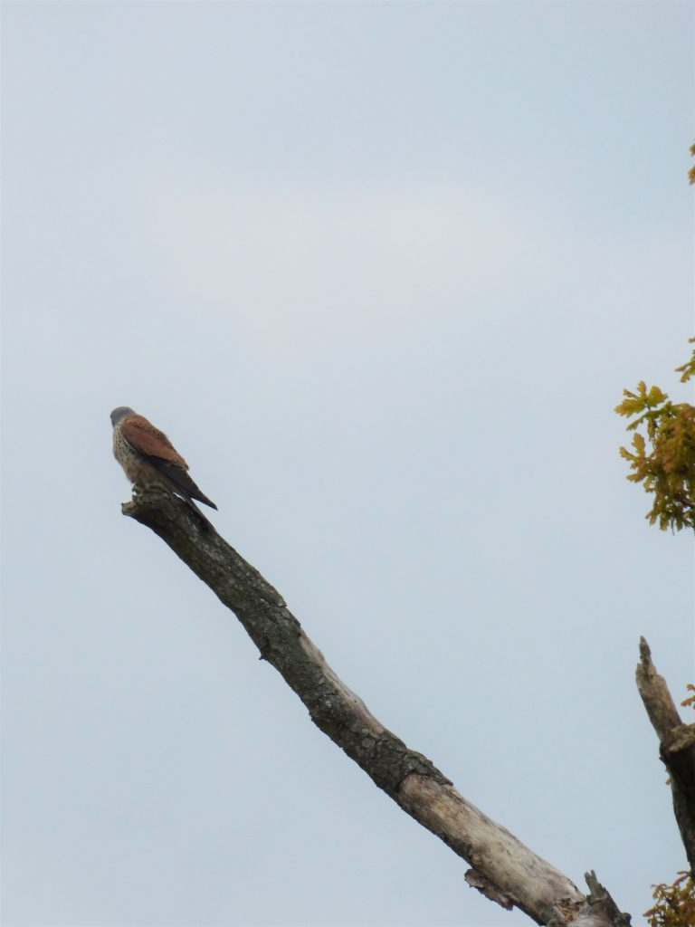 kestrel standing on top of a stark branch