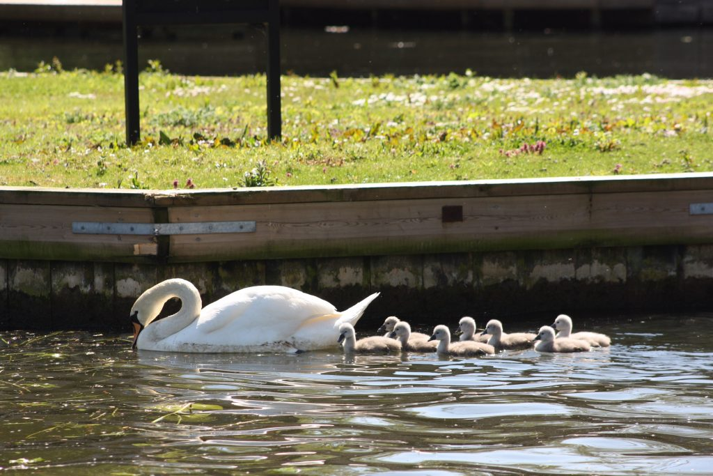 Adult swan with 8 cygnets on the water