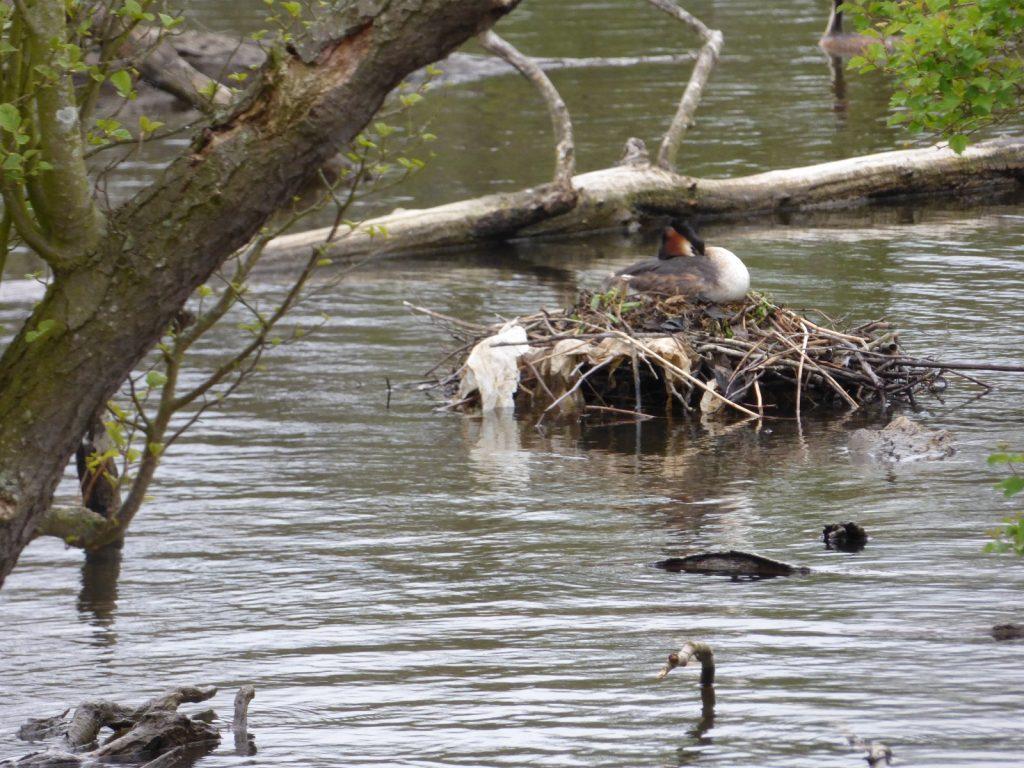 grebe sitting on a nest below a tree branch