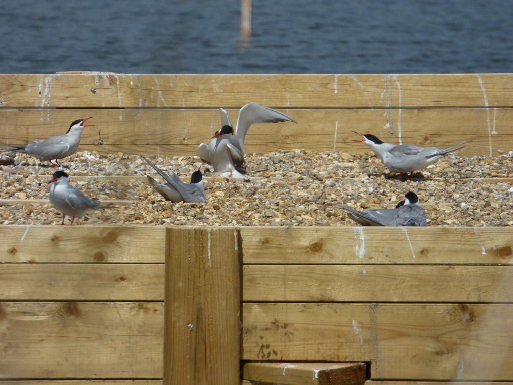 common terns standing on nesting platform
