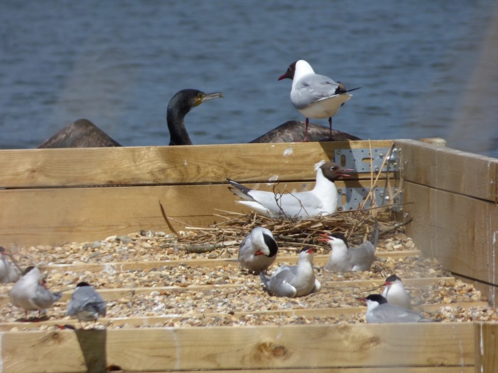 black headed gulls and comorant on nesting platform