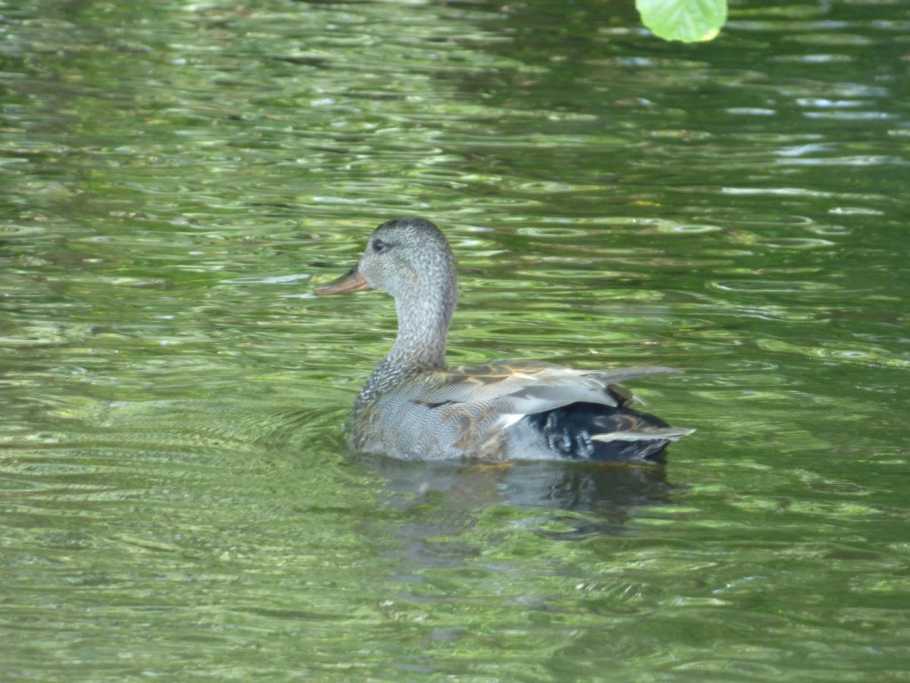 gadwall duck on the water