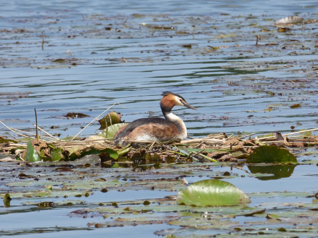 grebe sitting on a nest on the water