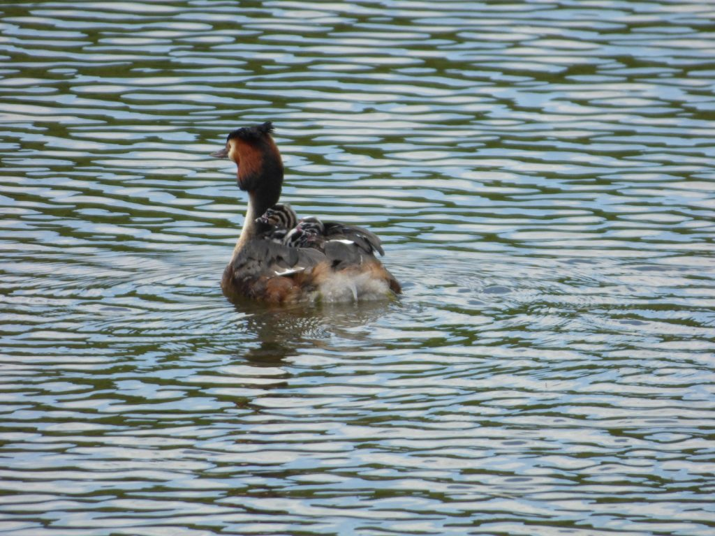 grebe swimming with grebelets on back