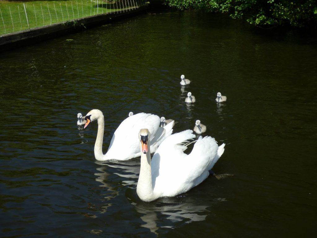 two swans with 8 cygnets